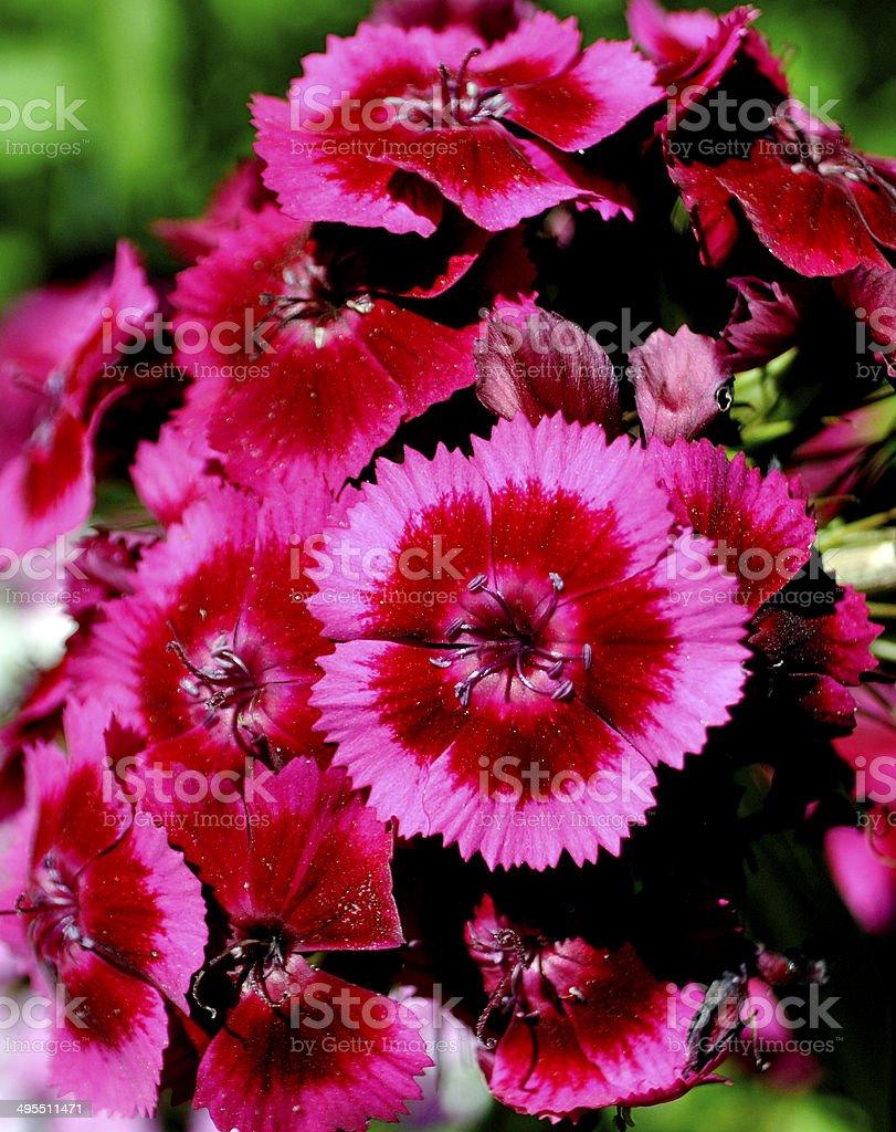 Dianthus Indian Carpet 2 stock photo