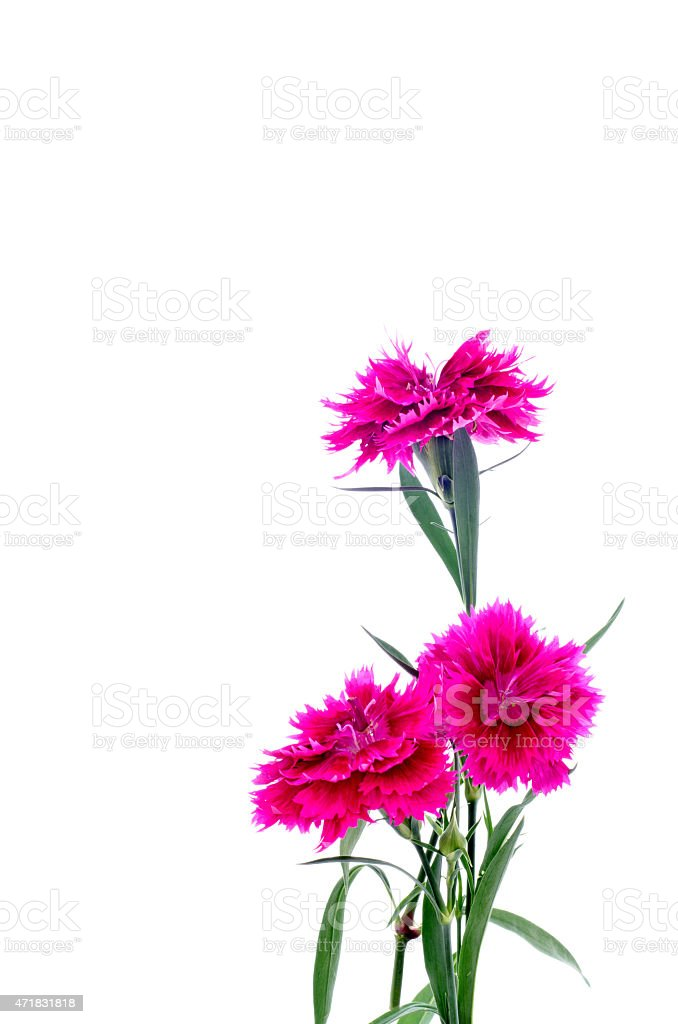 Dianthus or Sweet william flower stock photo