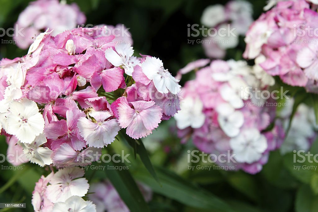 Dianthus royalty-free stock photo