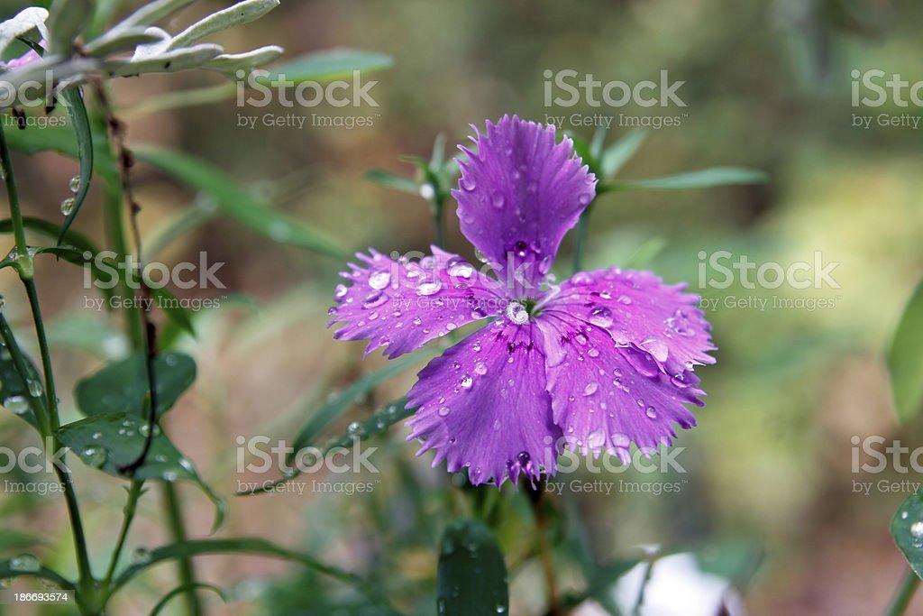 Dianthus royalty-free stock photo