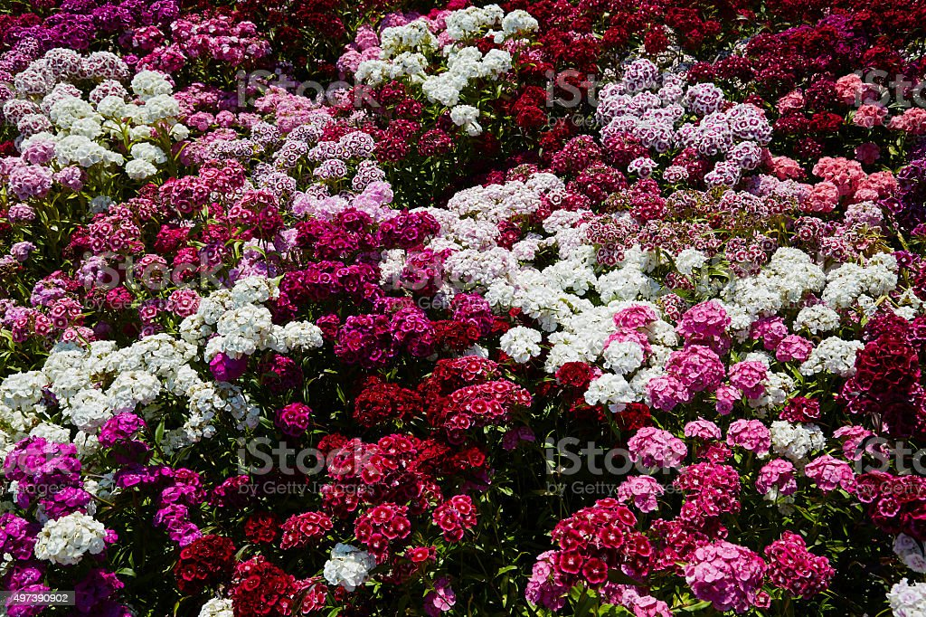 Dianthus stock photo