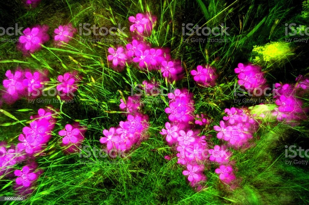 Dianthus stock photo