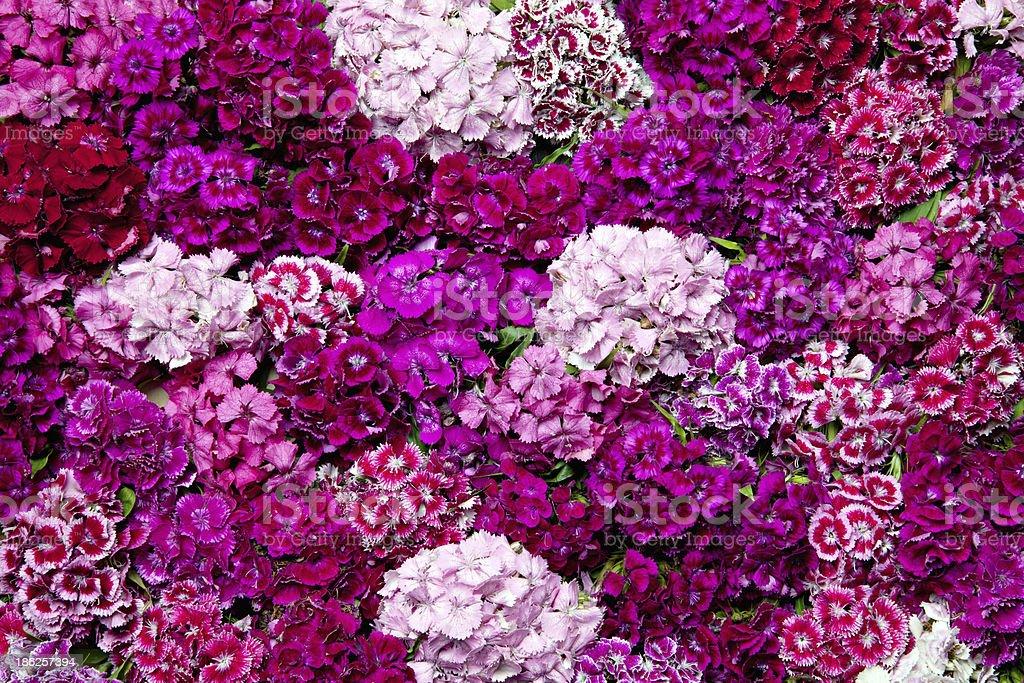 Diantus flowers. stock photo