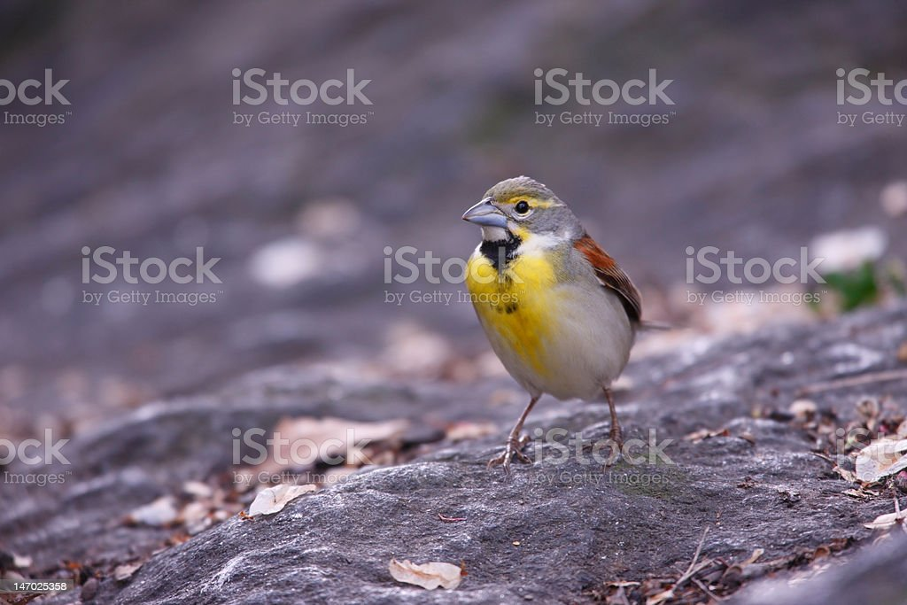 Dickcissel male royalty-free stock photo