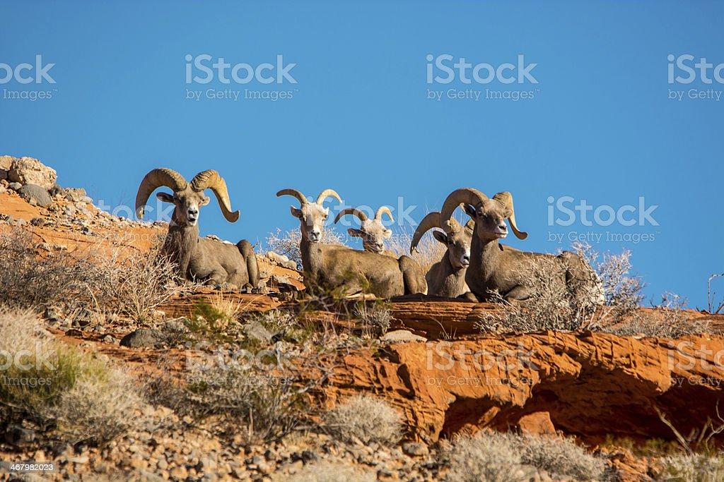 Dickhornschafe - bighorn sheep stock photo