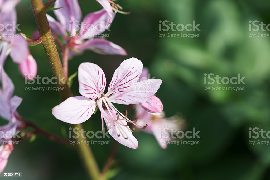 Dictamnus albus - Gas Plant - Burning Bush stock photo