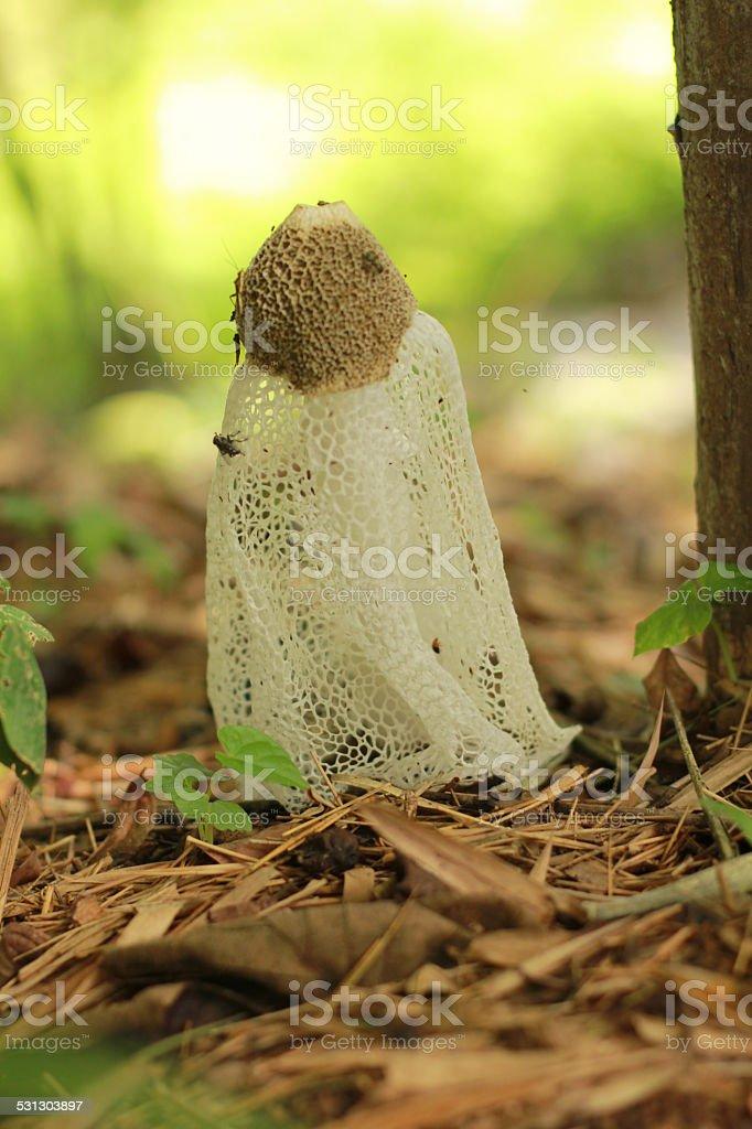 Dictyophora indusiata stock photo