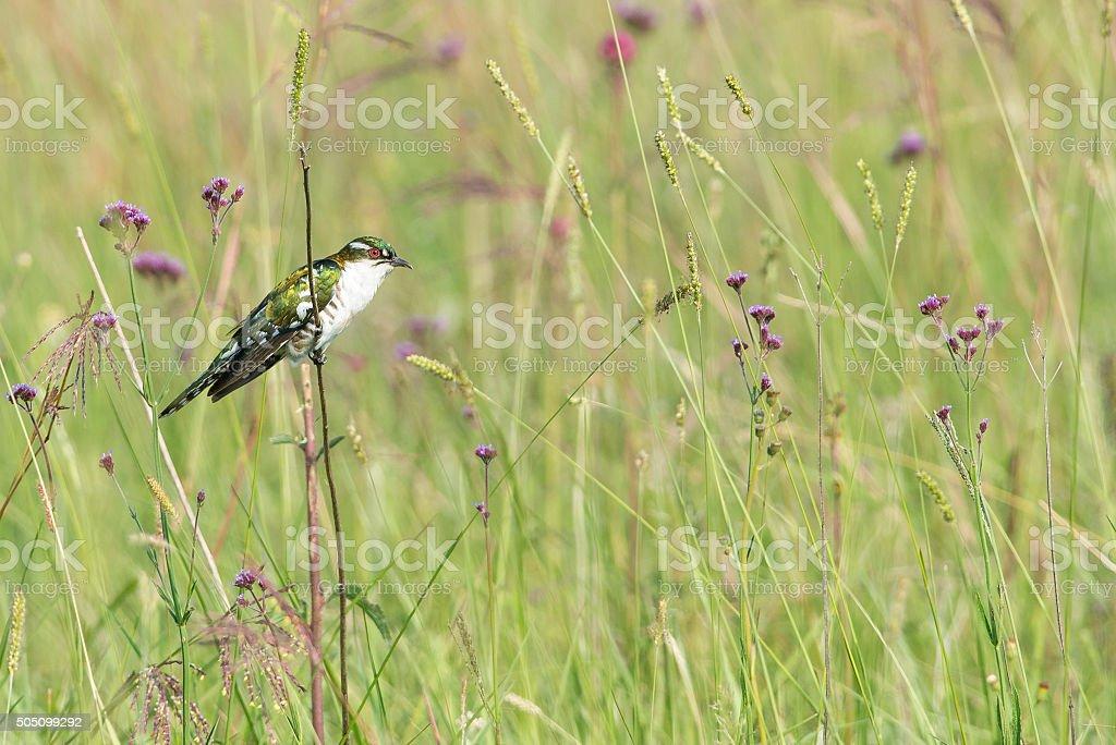 Didric cuckoo and flowers stock photo