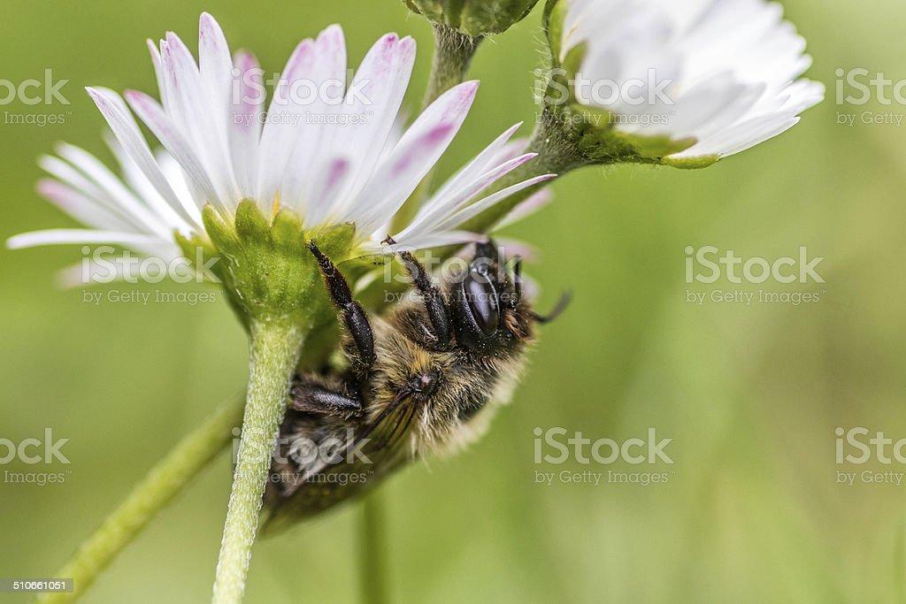 Die Biene stock photo