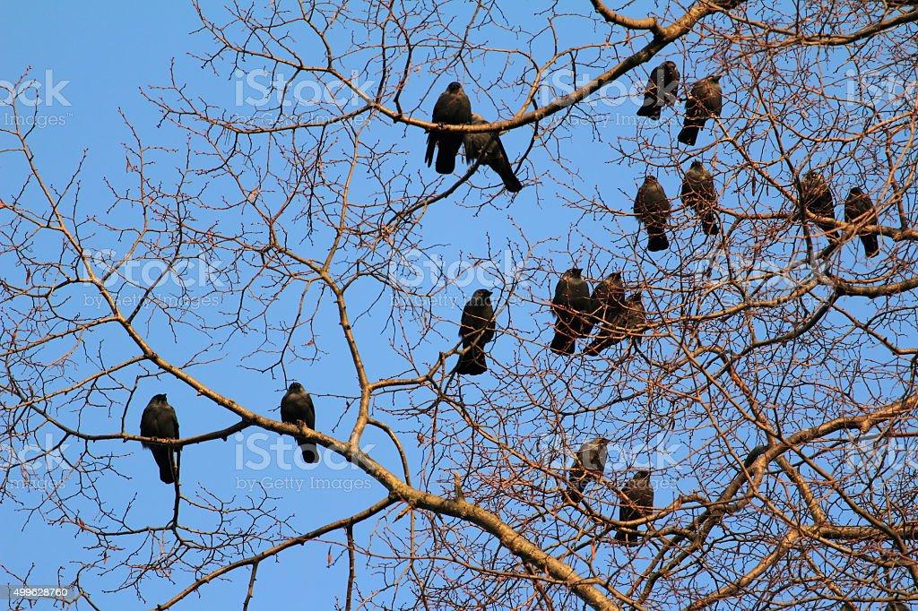 Die Dohlen (Corvus monedula) stock photo