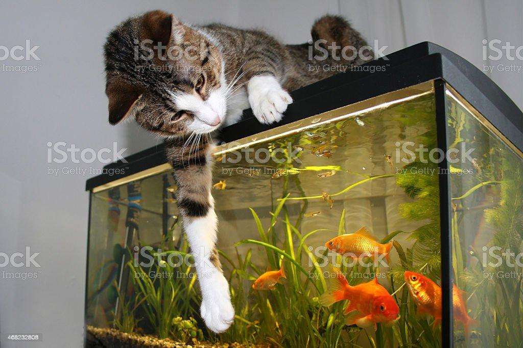 Die Katze und Goldfische stock photo