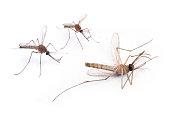 Die Mosquito