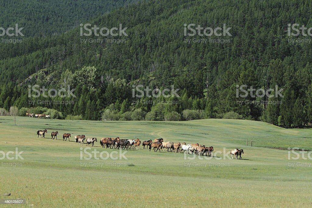 Die wilden Pferde in der Mongolei stock photo