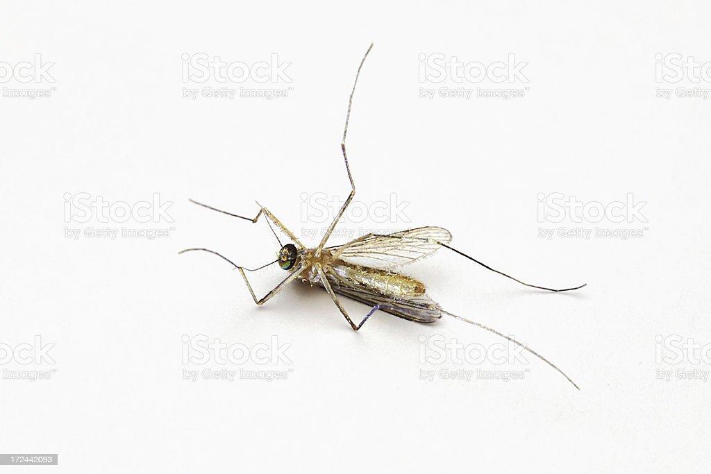 Died Culex tritaeniorhynchus (mosquito) royalty-free stock photo