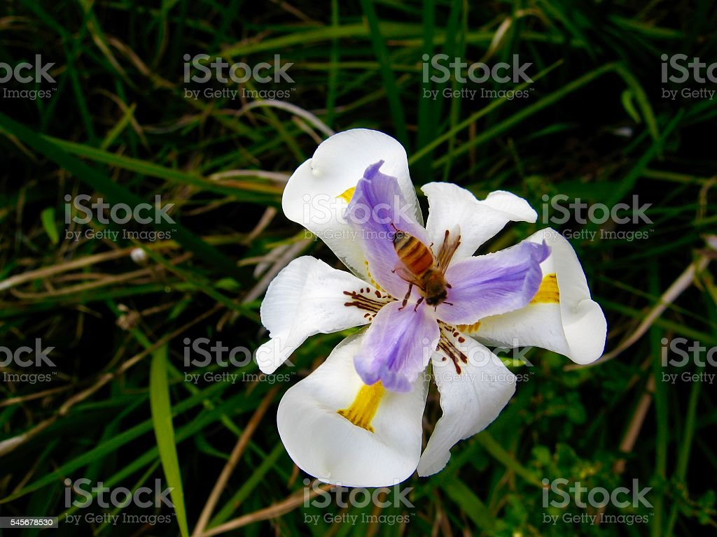 Dietes Grandiflora, Native Iris, Australia with a Bee stock photo
