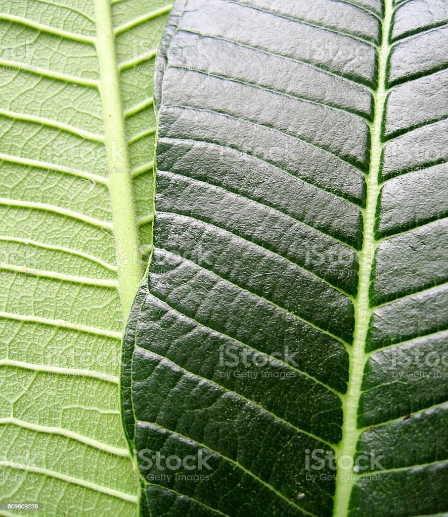 Differences of leaf front and back stock photo