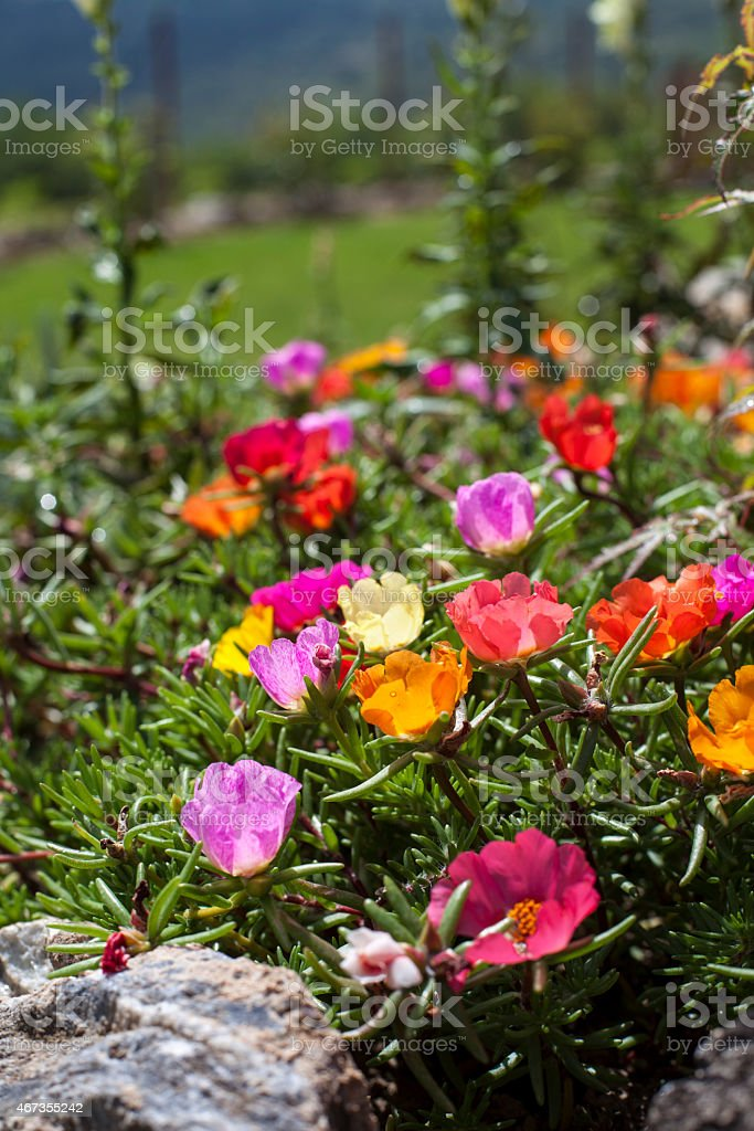 Different colors of moss rose flowers stock photo