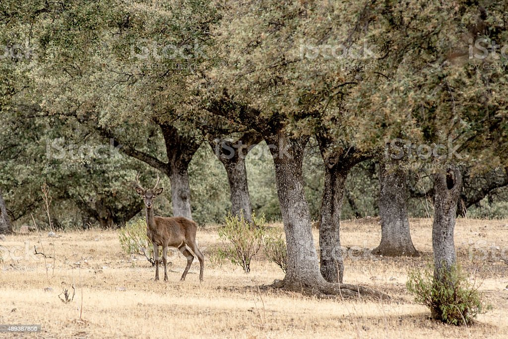 Different deer in oak forest during the breeding season, stock photo