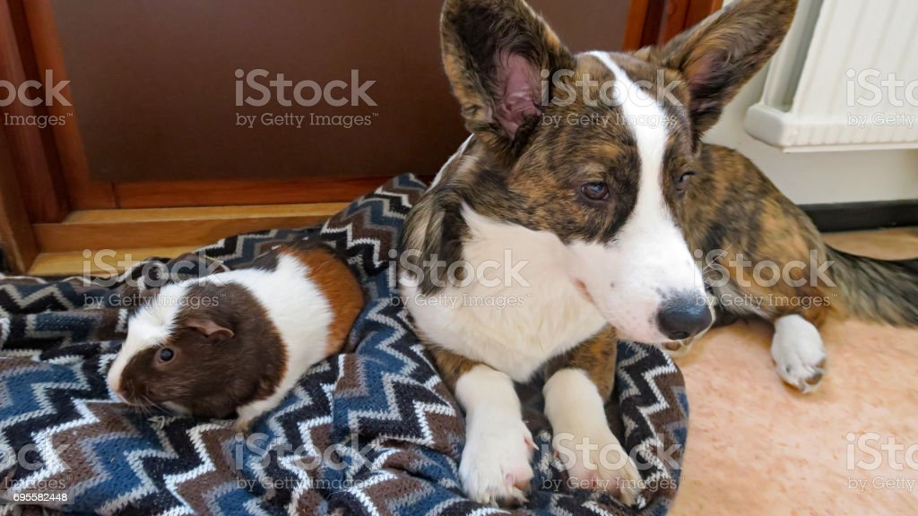 Different directions - puppy of the breed Welsh Corgi Cardigan and guinea pig of the breed American crested/White crested. stock photo