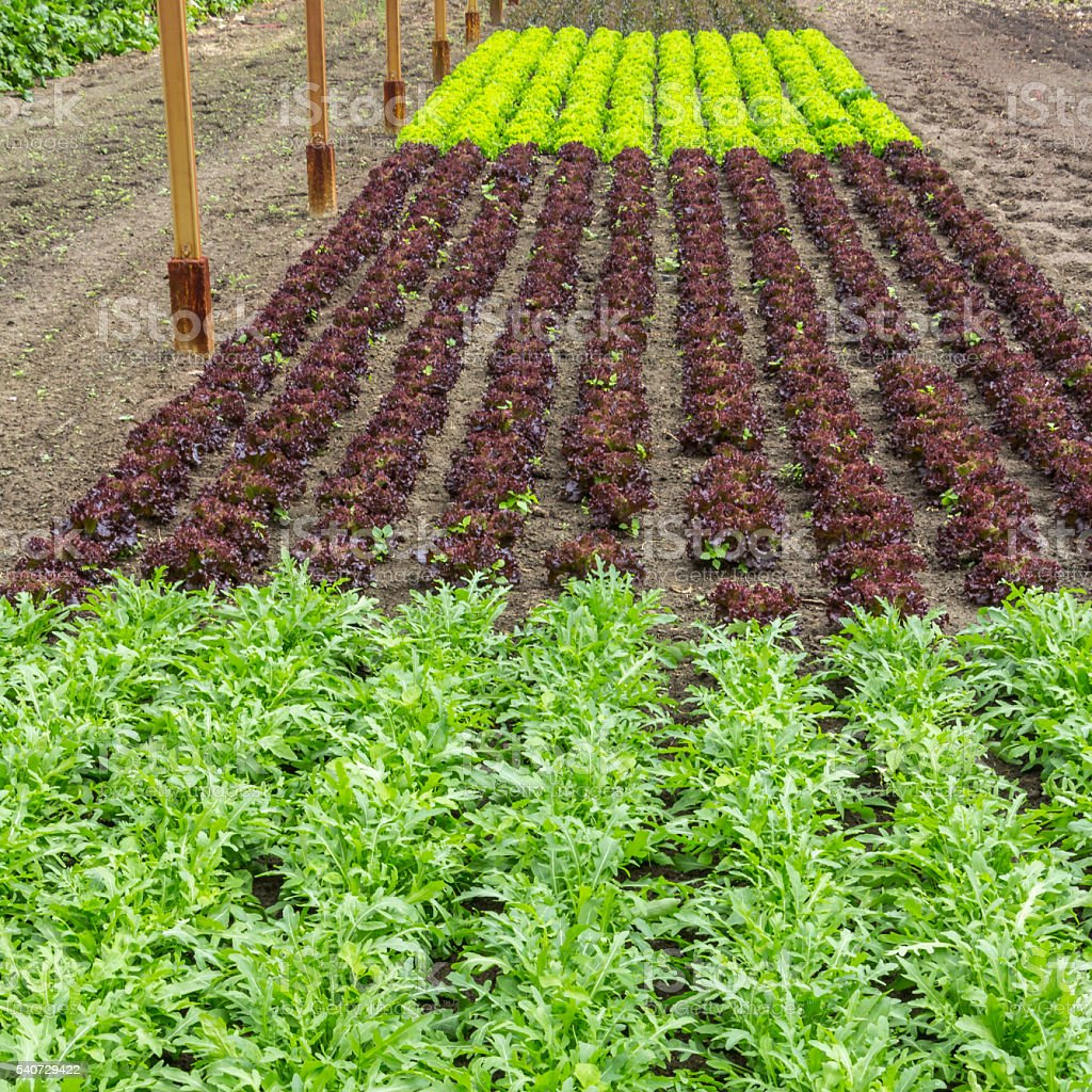 Different kinds of lettuce growing in a greenhouse stock photo