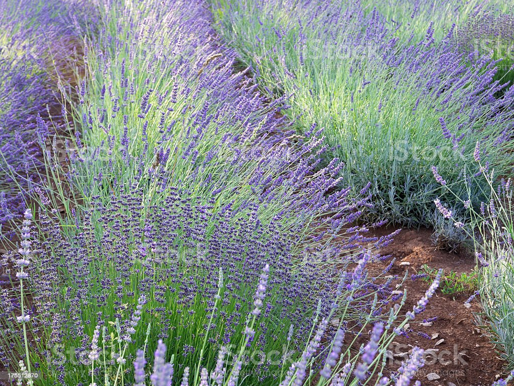 different lavender royalty-free stock photo