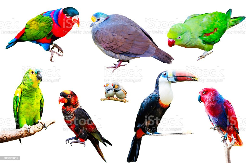 Different Parrots isolated on white background collection stock photo