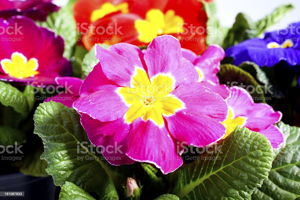 Different sorts of primroses royalty-free stock photo