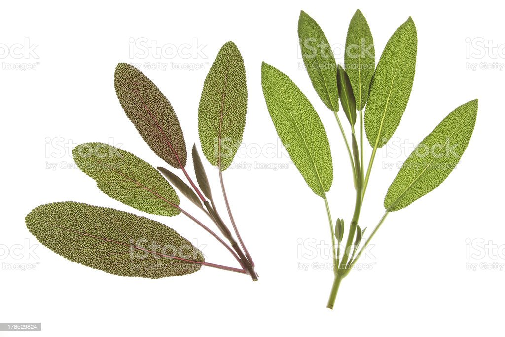 Different types of sage leaves stock photo