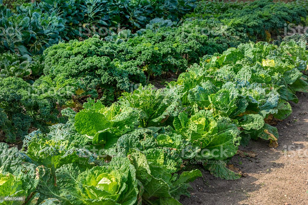 different types  vegetables in garden, such as cabbage and kale stock photo