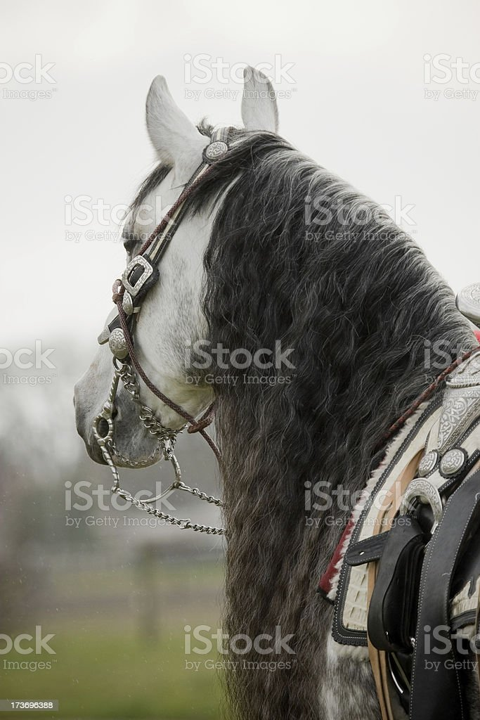 Different view of an Andalusian horse stock photo