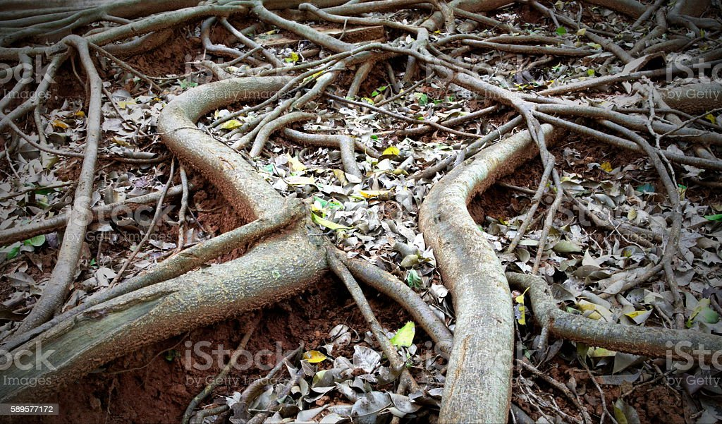 Different way of roots. (The Banyan Roots) stock photo