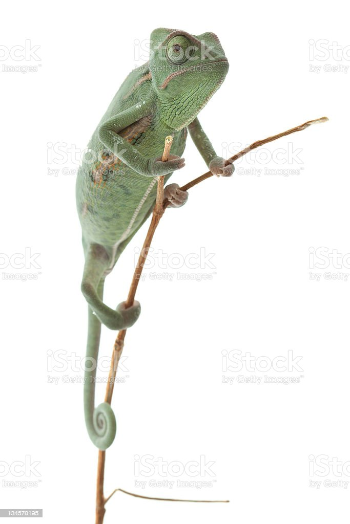 A different way of thinking of a chameleon stock photo