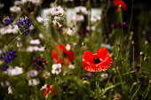 different wild flowers and poppies close-up