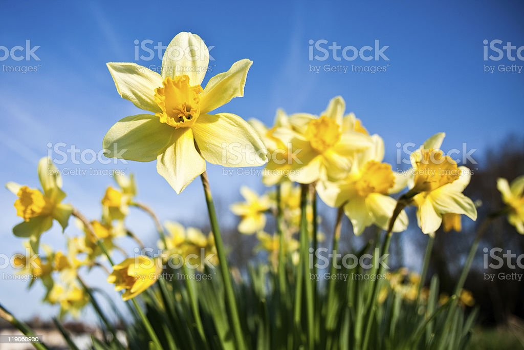 Differential focus of daffodils with morning dew stock photo