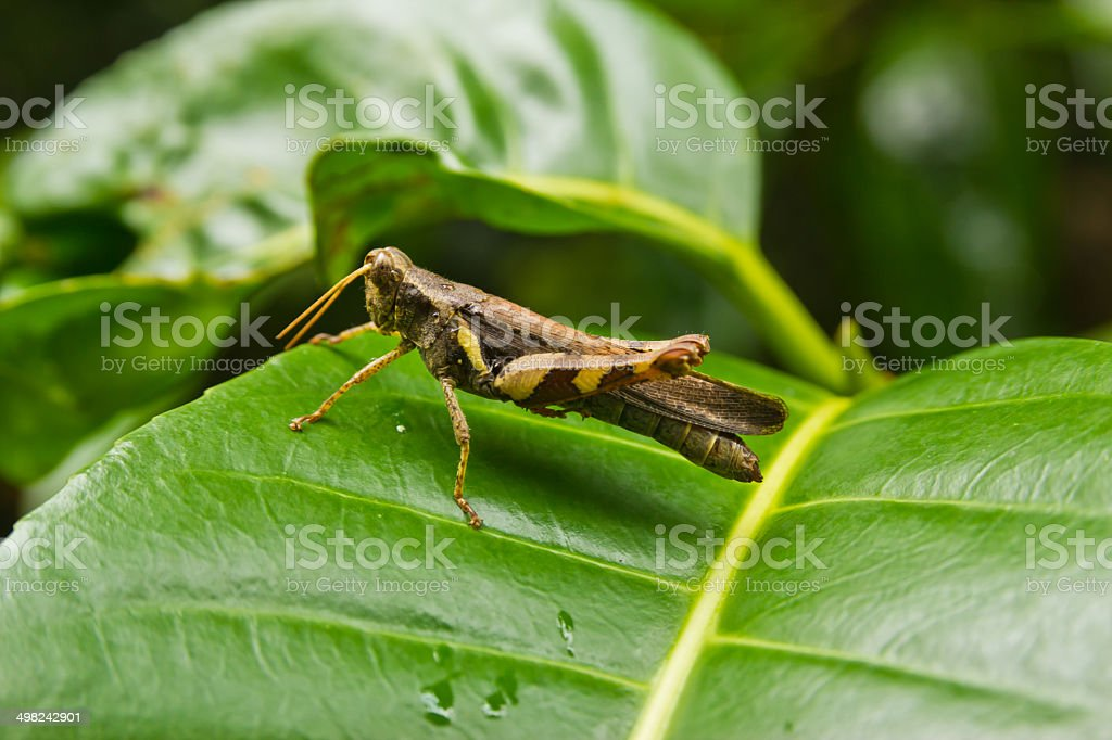 Differential gasshopper on leaf. royalty-free stock photo