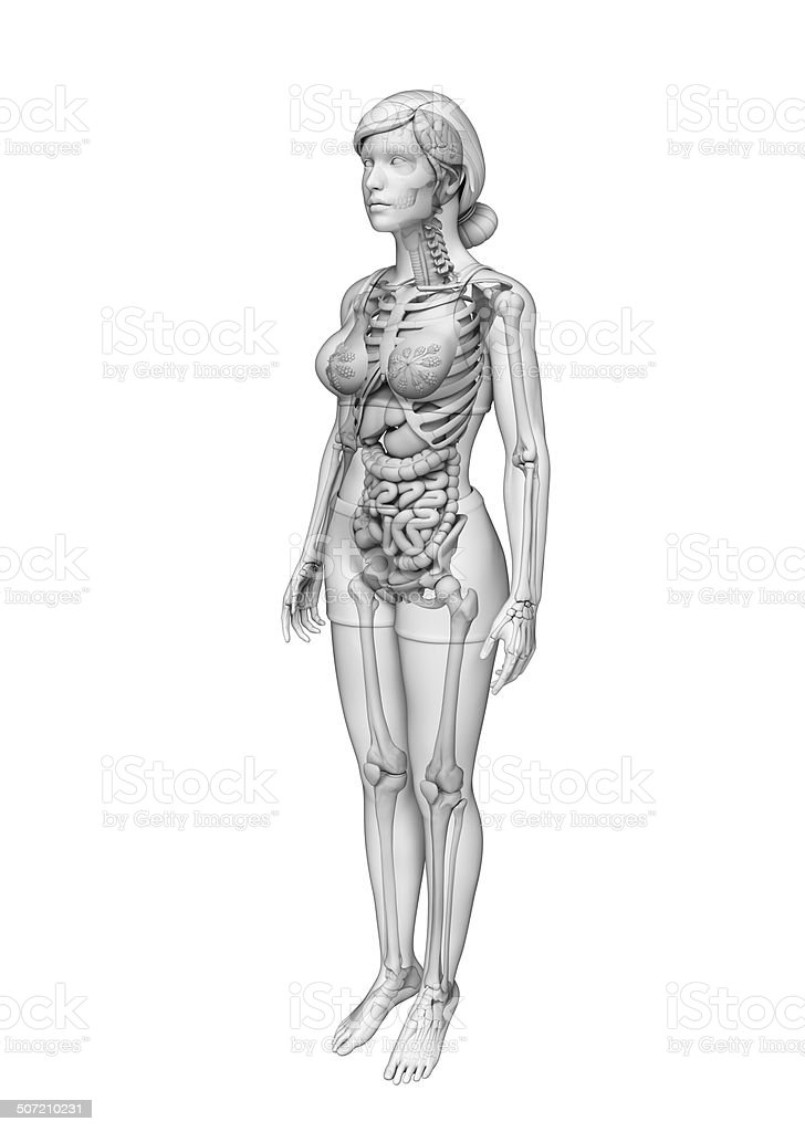 Digestive system of female anatomy royalty-free stock photo