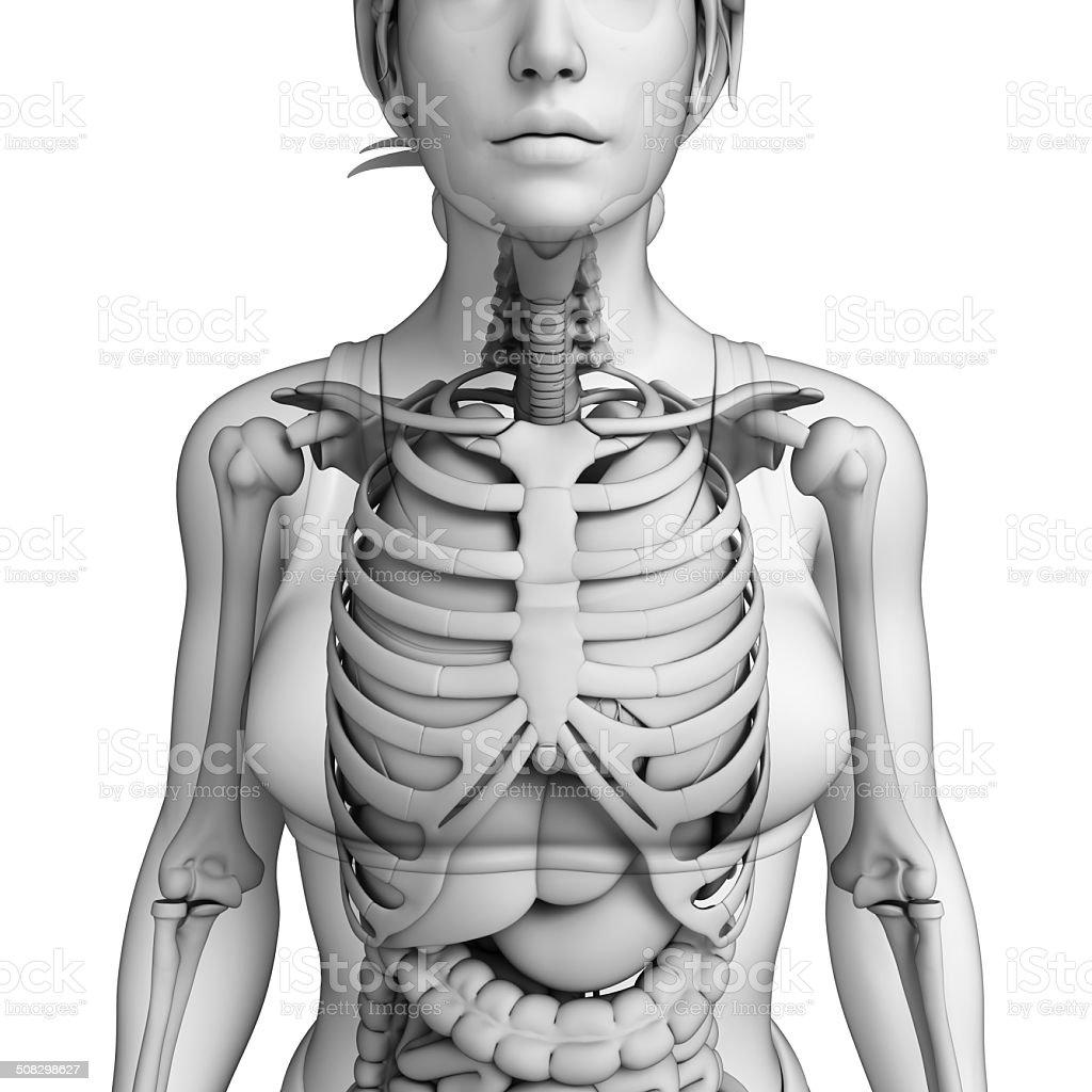 Digestive System Weibliche Anatomie Stockfoto 508298627 | iStock