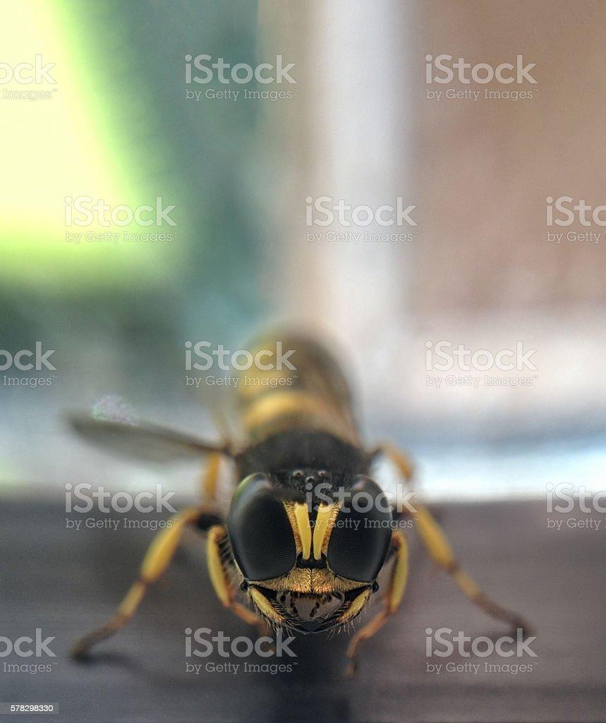 Digger Wasp stock photo