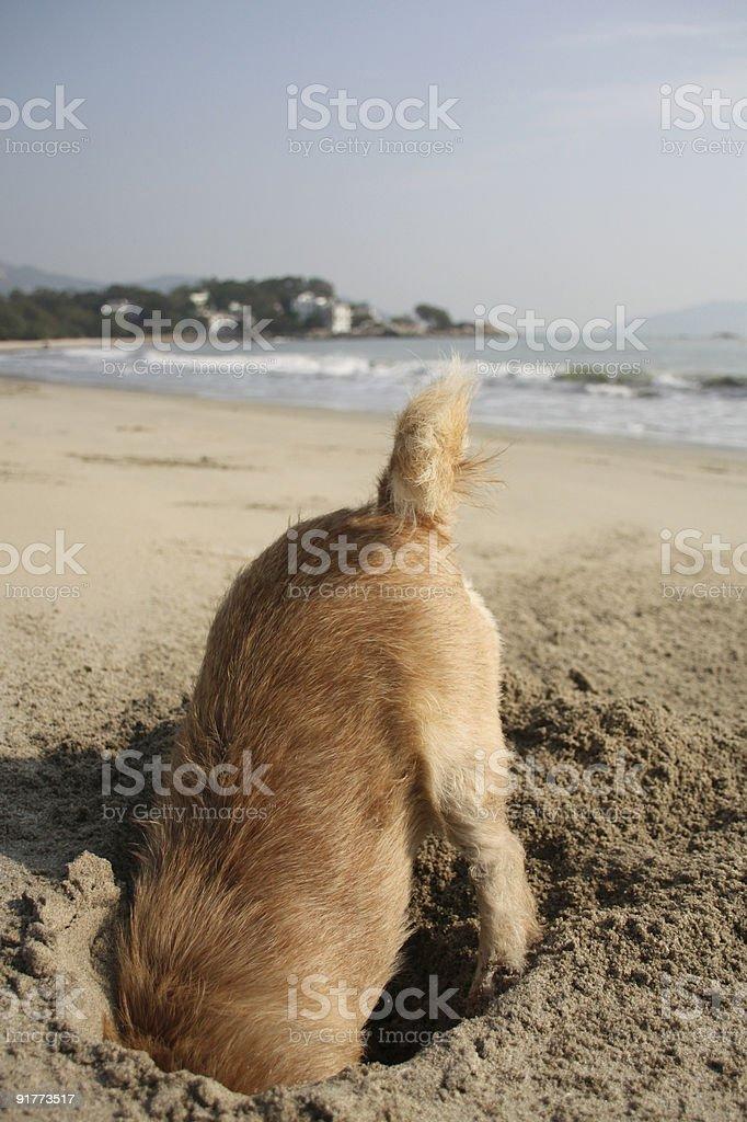 Digging Beach Dog stock photo