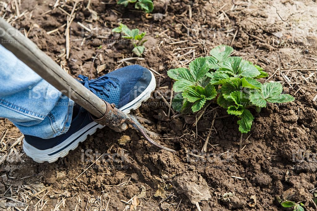 Digging spring soil with pitchfork stock photo