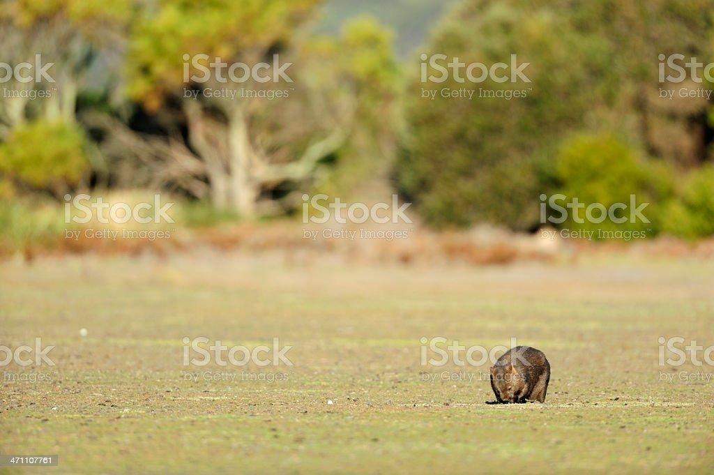 digging wombat stock photo