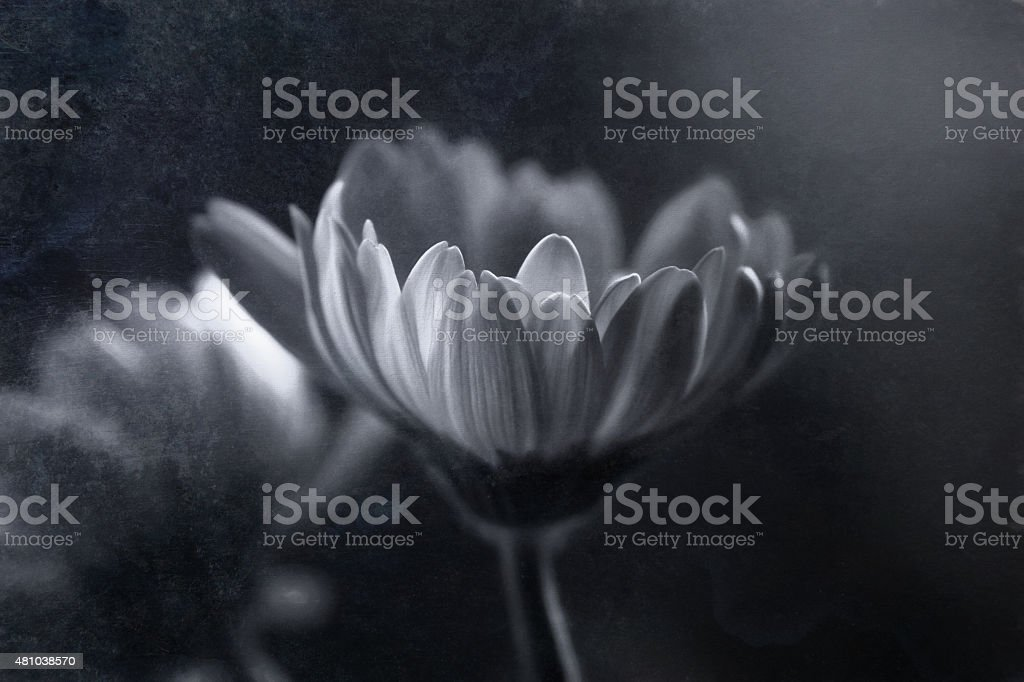Digital art, faded artistic composition Gerbera flower, oil paint effect stock photo