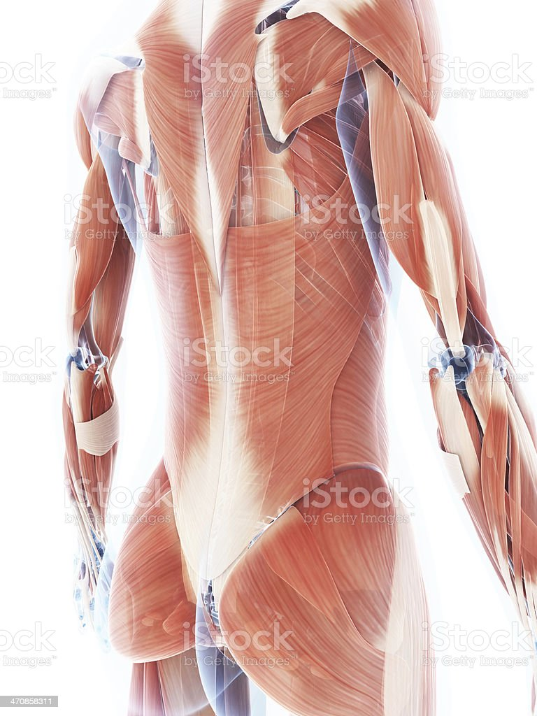 Digital image of the back of a female muscular system stock photo