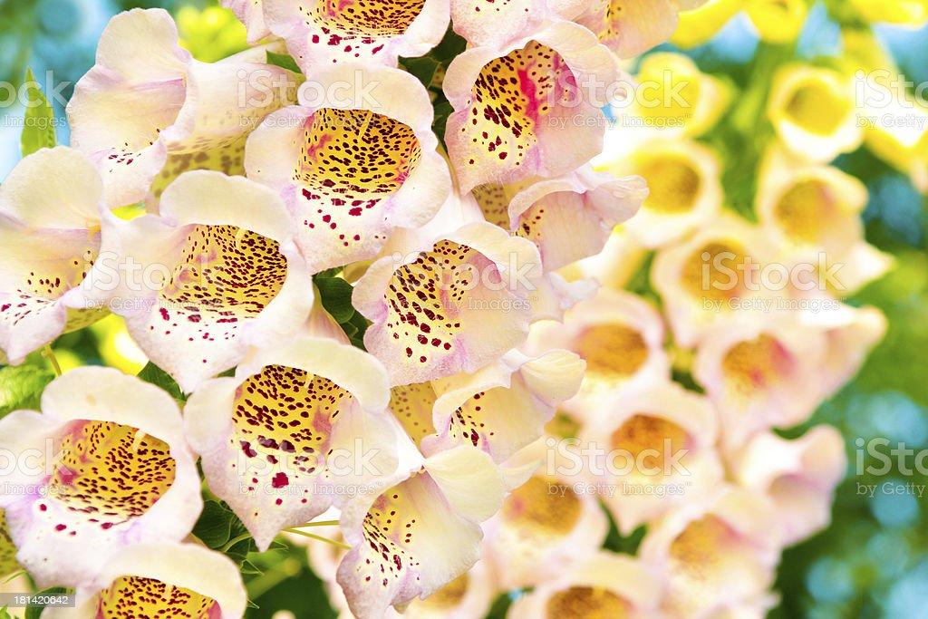 Digitalis purpurea. royalty-free stock photo