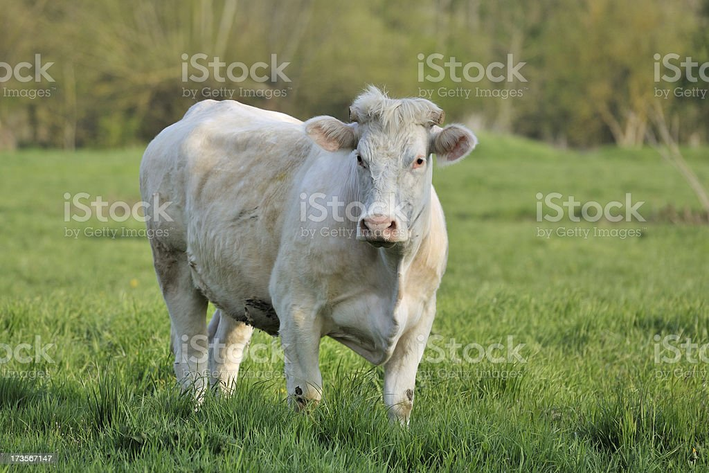 Dikbil Cow royalty-free stock photo