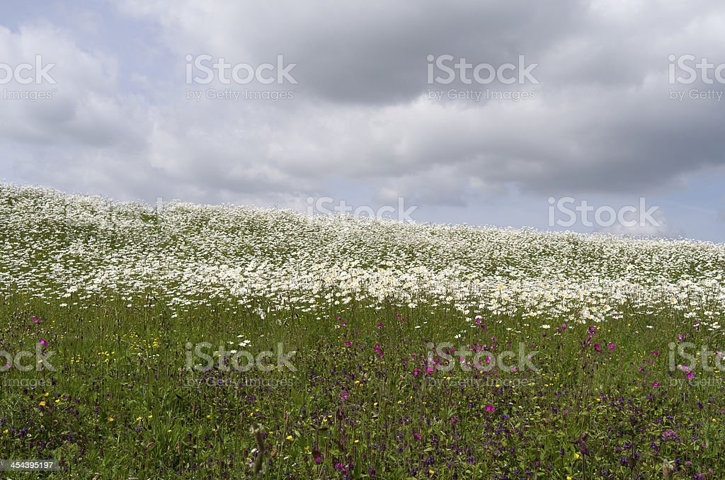 Dike with daisies and cuckoo flowers. royalty-free stock photo