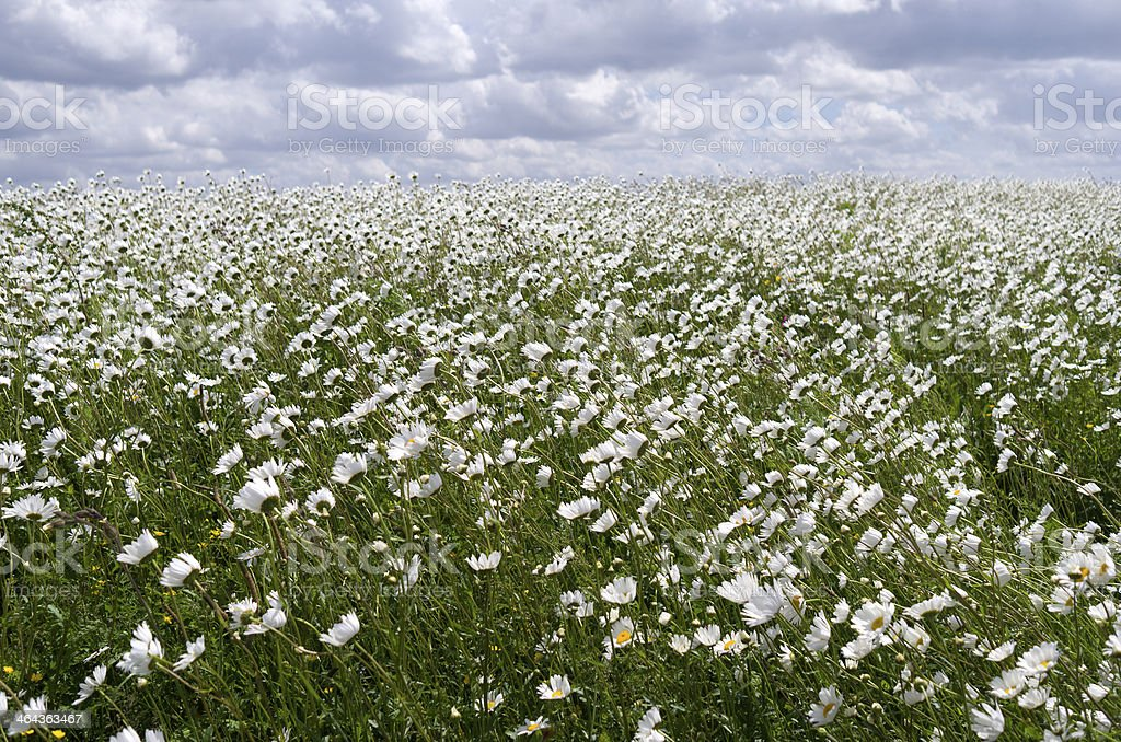 ・ディケ daisies の花付き。 ロイヤリティフリーストックフォト