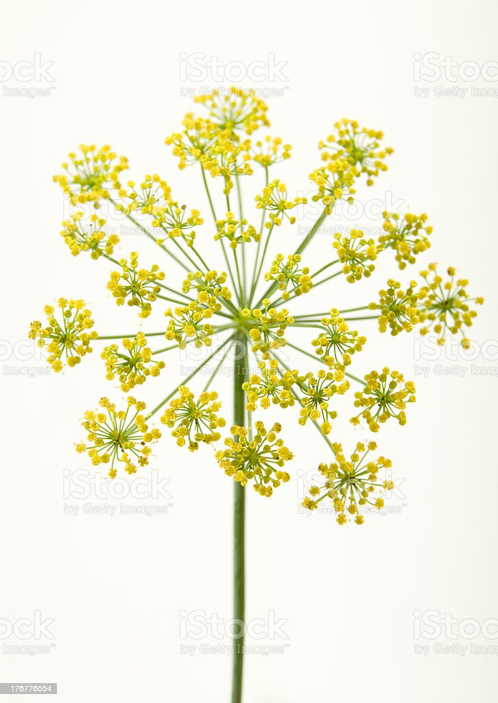 dill bloom stock photo