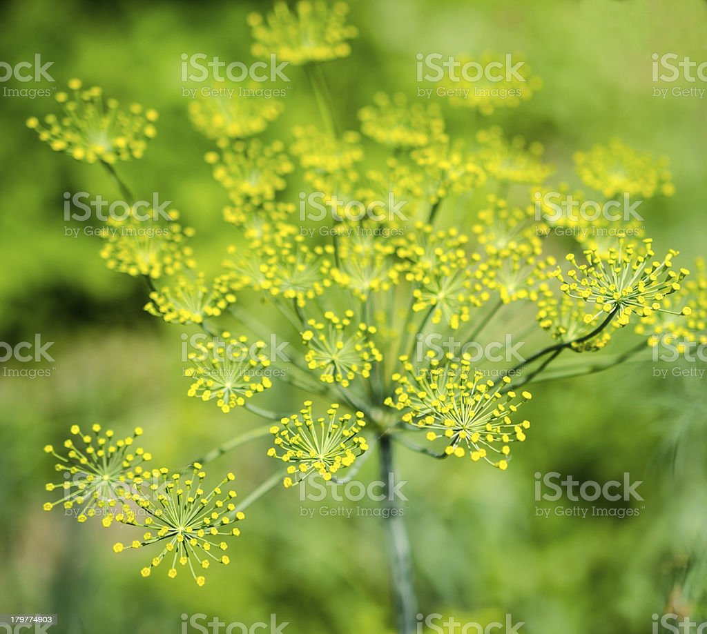 Dill (Fennel) flower royalty-free stock photo