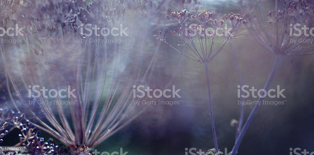Dill plant royalty-free stock photo